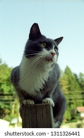Europe Austria Kirchbach 2003. Grey and white domestic house cat outside in meadow. Cute family pet balancing on fence post. Blurred background.