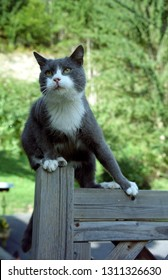 Europe Austria Kirchbach 2003. Grey and white domestic house cat outside in meadow. Cute family pet sitting on wooden fence. Soft focus background.
