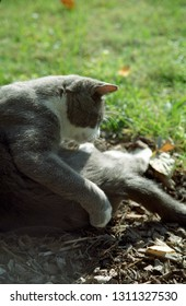 Europe Austria Kirchbach 2003. Grey and white domestic house cat outside in meadow. Cute family pet. Soft focus background.