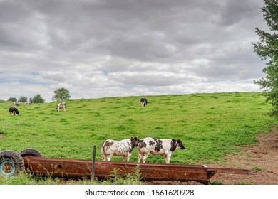 Europe, Belgium, Pont-а-Celles, May 5, 2019: Two cows