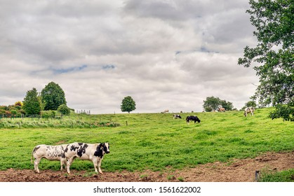 Europe, Belgium, Pont-а-Celles, May 5, 2019: Two cows in a pasture