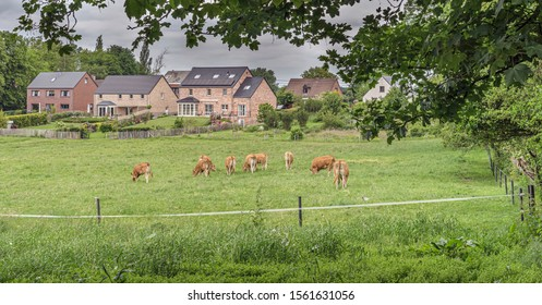 Europe, Belgium, Pont-а-Celles, May 5, 2019: grazing cow  near houses
