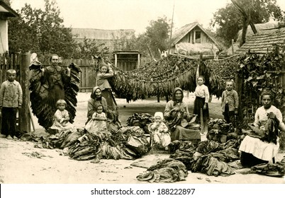 EUROPE - GERMANY - CIRCA 1890 A vintage photo of a group of German woman during their occupation of cleaning and drying tobacco leaves. There are tobacco leaves hanging from lines. CIRCA 1890