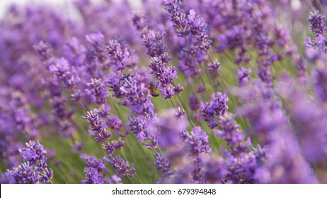 Europe lavender cotswold