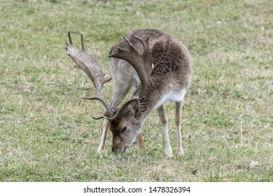 Europe, Netherlands, South Holland, 2018-04-15, Red Deer, late evening, seeking food and water.