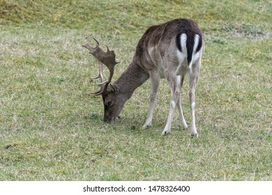 Europe, Netherlands, South Holland, 2018-04-15, Red Deer, identifiable by its marking on his rump,  evening, seeking food and water.