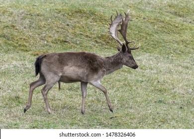 Europe, Netherlands, South Holland, 2018-04-15, Fallow Deer, late evening, seeking food and water.
