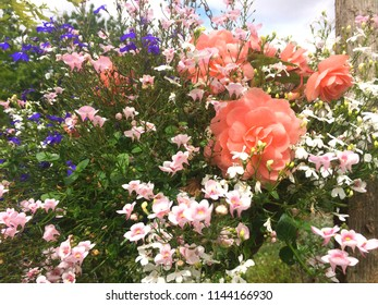 Europe UK Bedfordshire July 2018. Garden flowers in natural setting. Summertime blooms. Brilliant colours. Floral hanging basket close up.