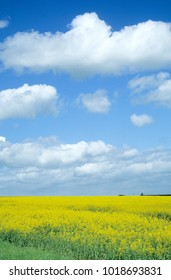Europe UK Cambridgeshire Kimbolton 1999. Blue sky and white clouds in summer time. Agricultural landscape of green hedges. Fields with crops of winter wheat. Fields of yellow flowering oil seed rape.
