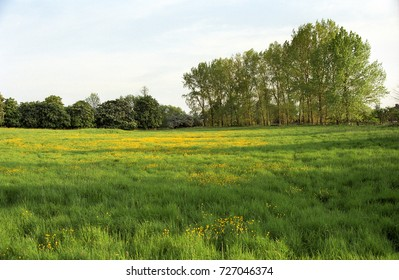 Europe UK Cambridgeshire Stonely 2000. English country green grass meadow with wild buttercup flowers.