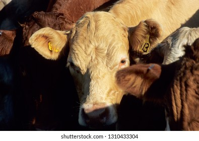 Europe UK Devon July 1998. Outdoor herd of young beef cattle. Close up of Charolais bullock looking into camera. Sun on animals hide.