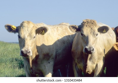 Europe UK Devon July 1998. Outdoor herd of young beef cattle. Two Charolais bullocks close up looking into camera. Quiet animals.