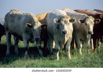 Europe UK Devon July 1998. Outdoor herd of young beef cattle. Mixed breeds of bullocks. Charolais looking at camera standing in grass meadow.