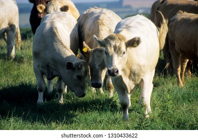 Europe UK Devon July 1998. Outdoor herd of young beef cattle. Charolais bullocks looking at camera. Standing as small group in meadow.