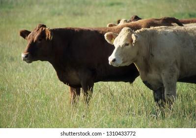 Europe UK Devon July 1998. Outdoor herd of young beef cattle standing quietly in grass meadow.