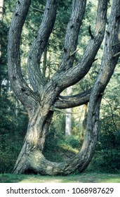 Europe UK Norfolk Wells next to Sea 2001. Unusual shaped pine trees on coastal woodland. Sun shadows on tree branches. Natural landscape.