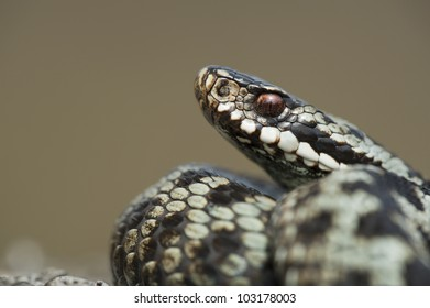 A European Adder (Vipera berus) in a defensive posture against a smooth pale background.