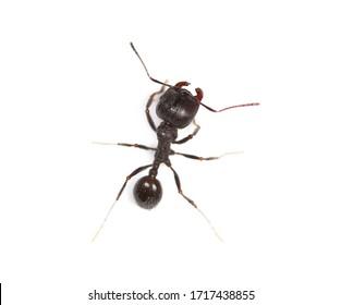 European ant isolated on white background, Manica rubida