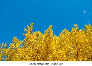 European aspen with bright yellow leaves. Copy space on the top.