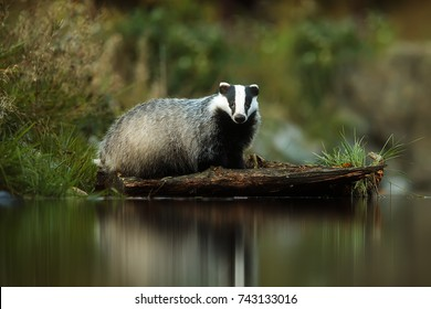 European badger above water from lake