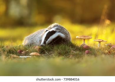 European badger with autumn background