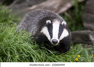 The European badger also called Eurasian badger and is (or was) part of a controversial cull in the UK