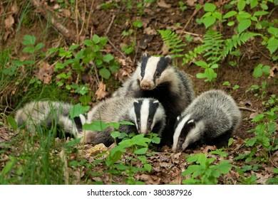 European badger, Meles meles