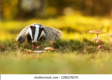 European badger, Meles meles with apples and muschrooms