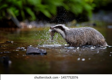 European badger, Meles meles, fishing in a mountain stream. Badger with trout caught in mouth, splashing water around. Rare animal behavior, low photo angle. Summer in Czech nature.