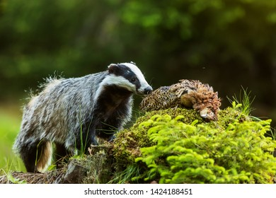 European badger (Meles meles) He found the carcass of a pheasant