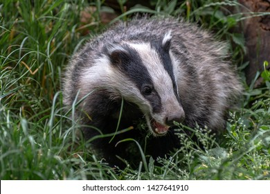 European badger, Meles meles. Also known as the Eurasian badger or simply badger, is a species of badger in the family Mustelidae and is native to almost all of Europe and some parts of West Asia