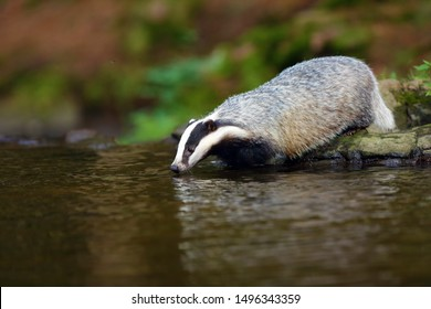 The European badger (Meles meles) also known as the Eurasian badger or simply badger drinks water from a forest creek.Big badger near water in dense forest.