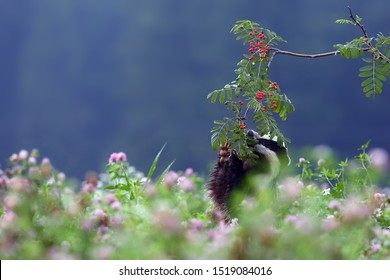 The European badger (Meles meles) also known as the Eurasian badger or simply badger eats ripe rowan berries in a clover field.Badger with red berries standing on hind legs.