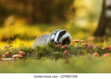 European badger, Meles meles with muschrooms