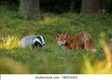 European badger with red fox