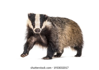 European badger, six months old, walking in front