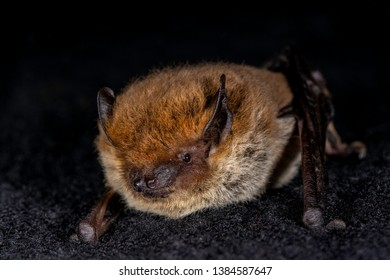 European bat the Kuhl's pipistrelle (Pipistrellus khulii) on a black backround