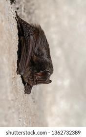European bat western barbastelle (Barbastella barbastellus) wintering in a cave