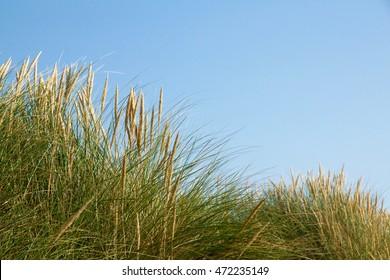 European beach grass along the coast isolated on blue sky background