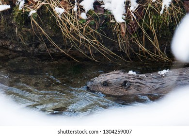 A European beaver swims in the winter water of a river with snow-covered shores