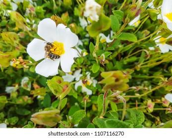 European bee, Apis mellifera, over a rock-rose flower Cistus salvifolius