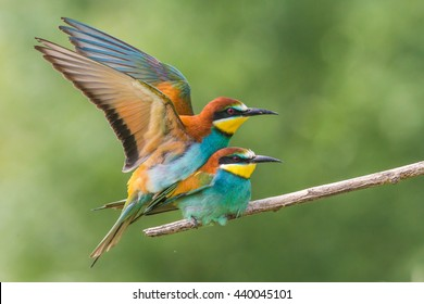european bee eaters mating