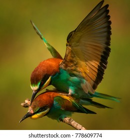 European bee eaters (Merops apiaster) mating on a beautiful background