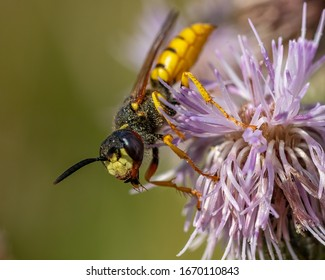 A european bee wolf (Philanthus triangulum) waiting for passing prey on a burdock flower, seen during July