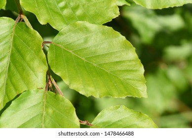 The European beech, Fagus sylvatica, is a deciduous tree and an oil plant. It is a powerful tree and its wood is an important timber supplier. She belongs to the medicinal plants and has green leave