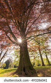 European beech in the park with sunshine