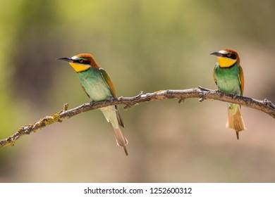 European Bee-eater, beautiful colorful bird sitting on a twig,Merops apiaster