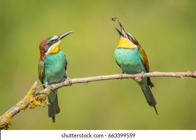 European Bee-eater. Bee juggling.