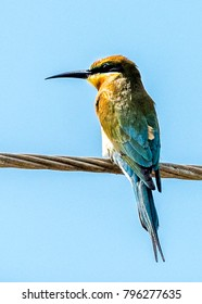 The European Bee-eater  in Bundala National Park of Sri Lanka.