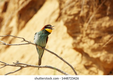 European bee-eater calling on branch